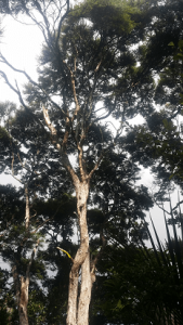 Group of huge 20m tea trees