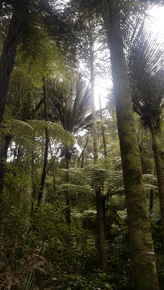 Native trees, ferns and nikau on the Kate Shepherd Track