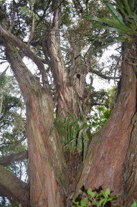 Huge Totara Tree on Albany Totara Walkway