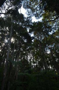 Totara Track Tall Trees